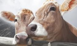 Mucche da latte in montagna