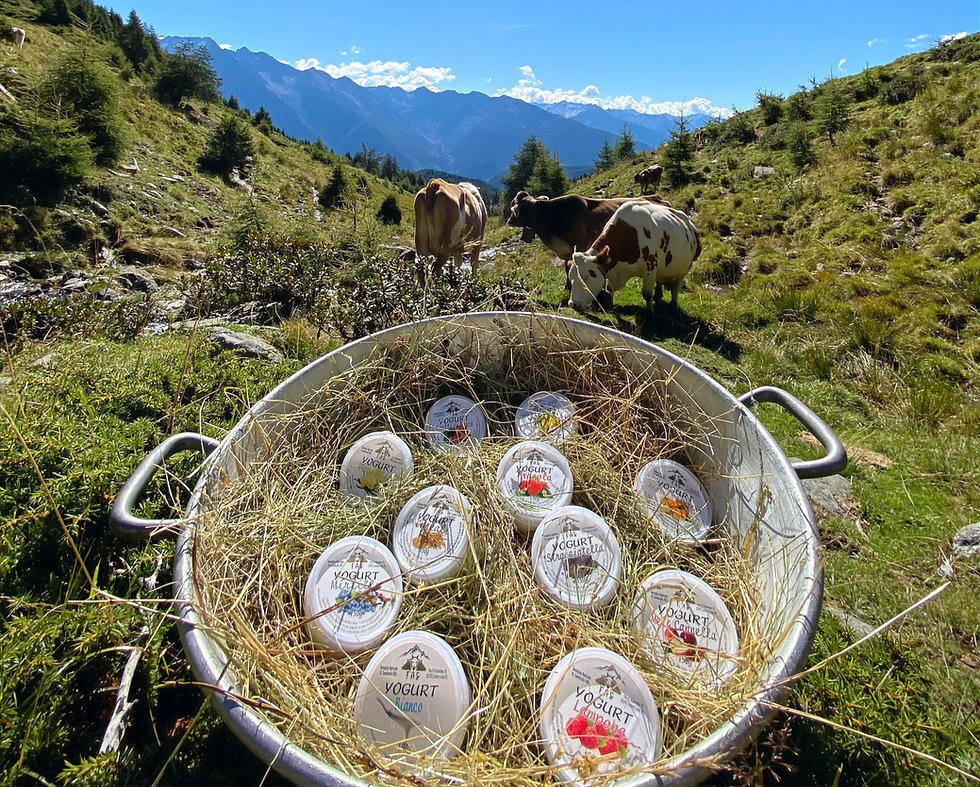 Mucche da latte e yogurt in montagna