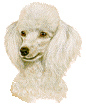 Small_White_Poodle