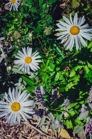 nordsjællandske blomster