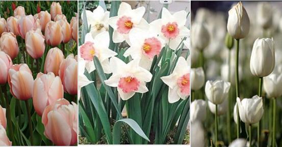 ØKO Tulipan & Narcissus mix 4 / 50 løg