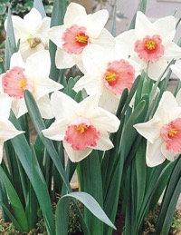 ØKO Narcissus Salome