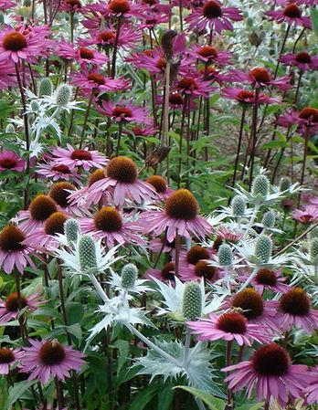 Echinachea in Garden Design