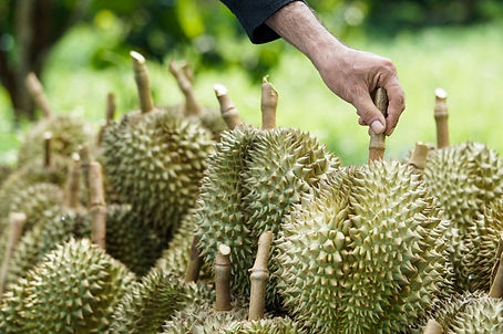 customers-are-choosing-buy-durian-from-g