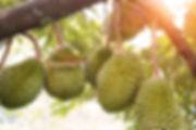 104541499-durian-farm-musang-king-in-foc