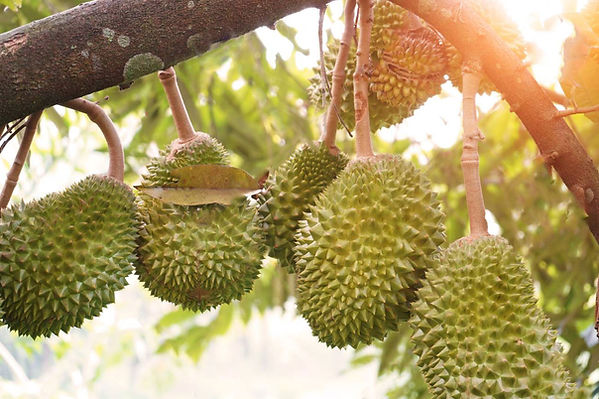 104541499-durian-farm-musang-king-in-foc