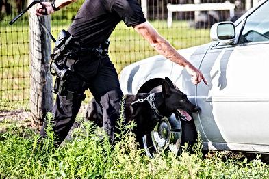 German Shepherd working dog, police K9 u