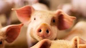 pigs_edited.jpg