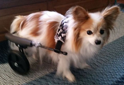 Dog Wheelchair for Small Dogs