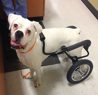 Dog Wheelchair for Mid-Size Dogs