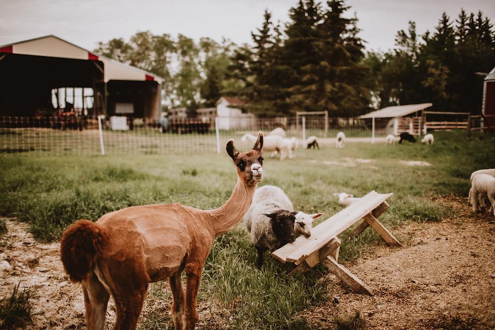 Sheared alpaca at Ferme Fiola, Ste. Genevieve, MB.