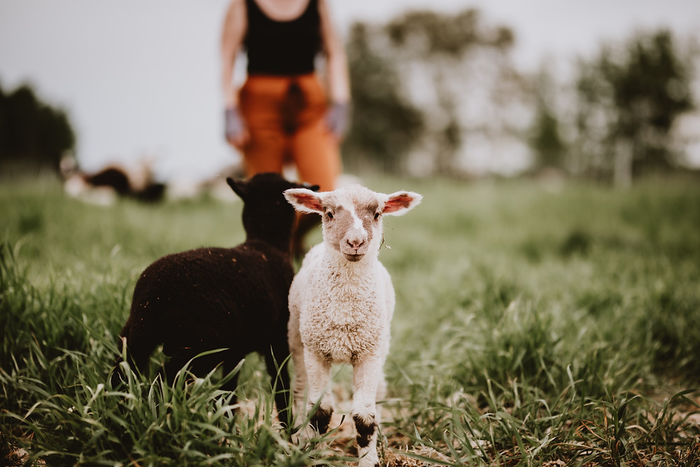 White lambe and black lamb in grassy field.