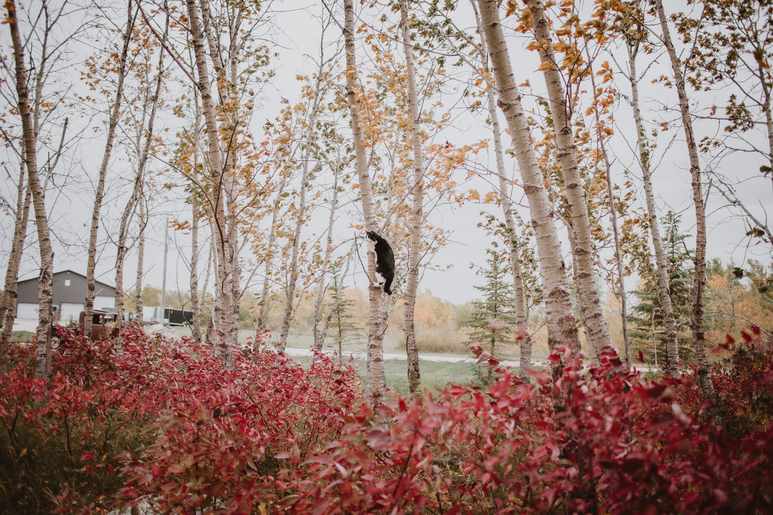 Cat Climbing Tree in the Fall during her humans' forest engagement session.