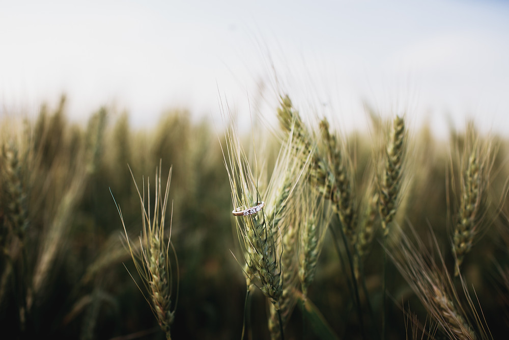 Engagement ring sits on a wheat.
