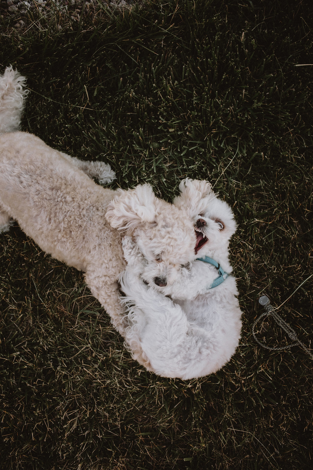 Puppies wrestle at backyard wedding reception.