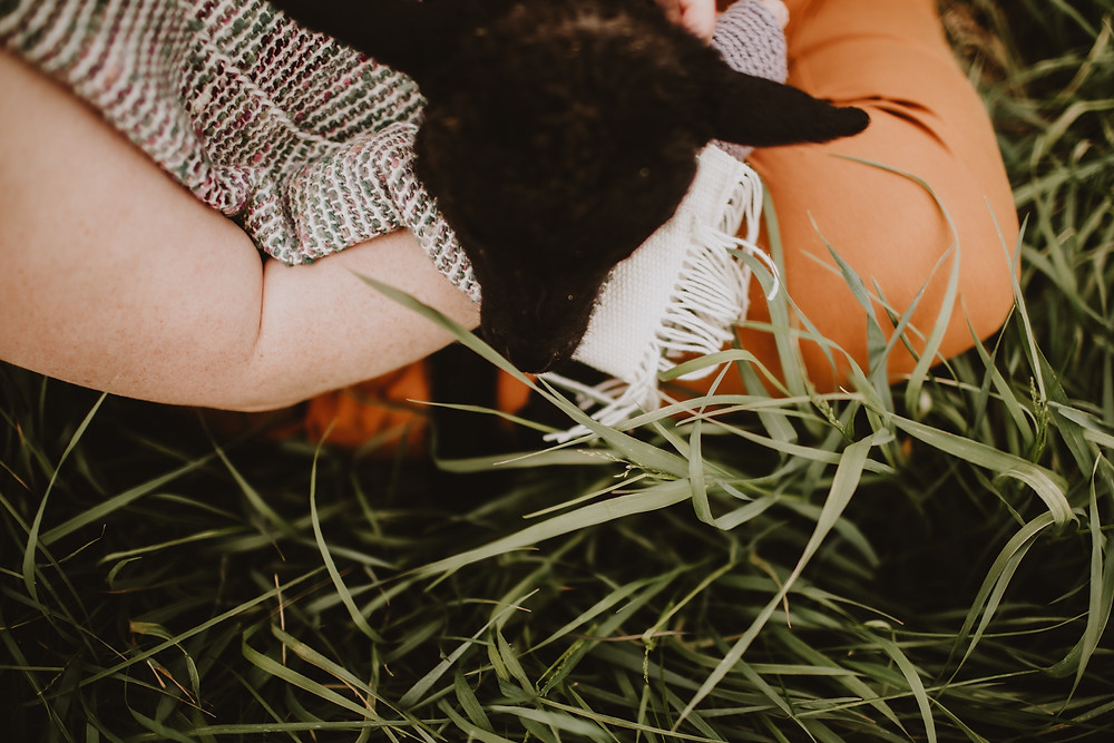 Black lamb, multicoloured scarf, and long grass.