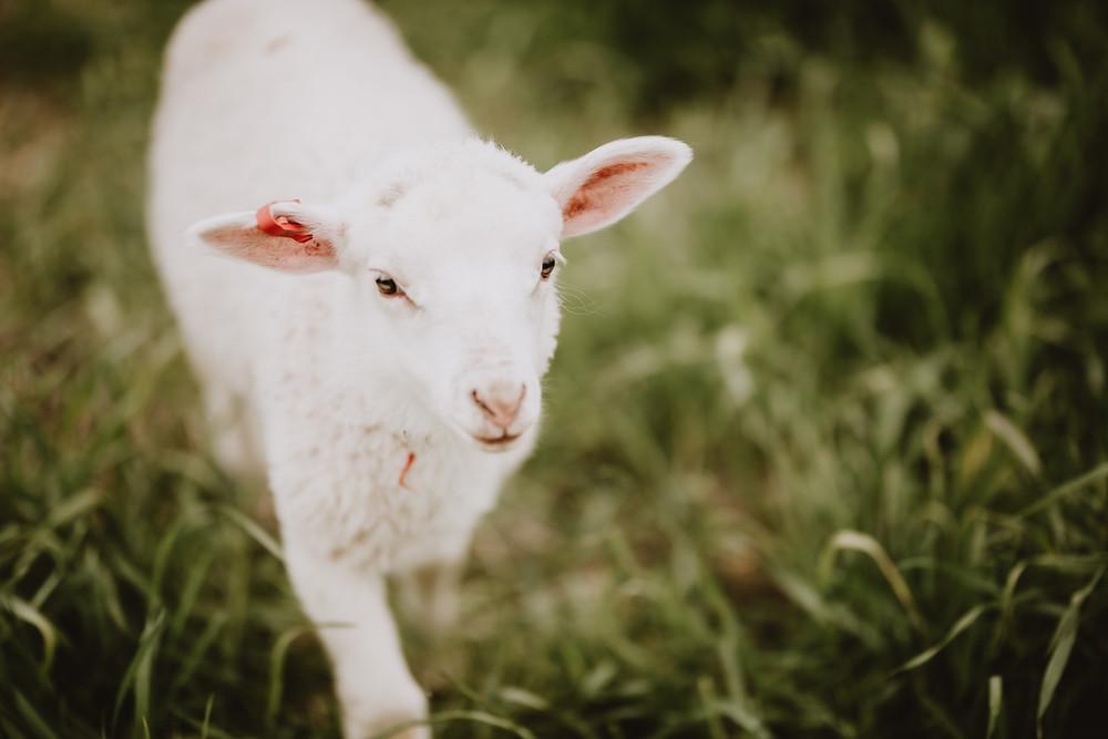 Close up of lamb walking through grassy field.