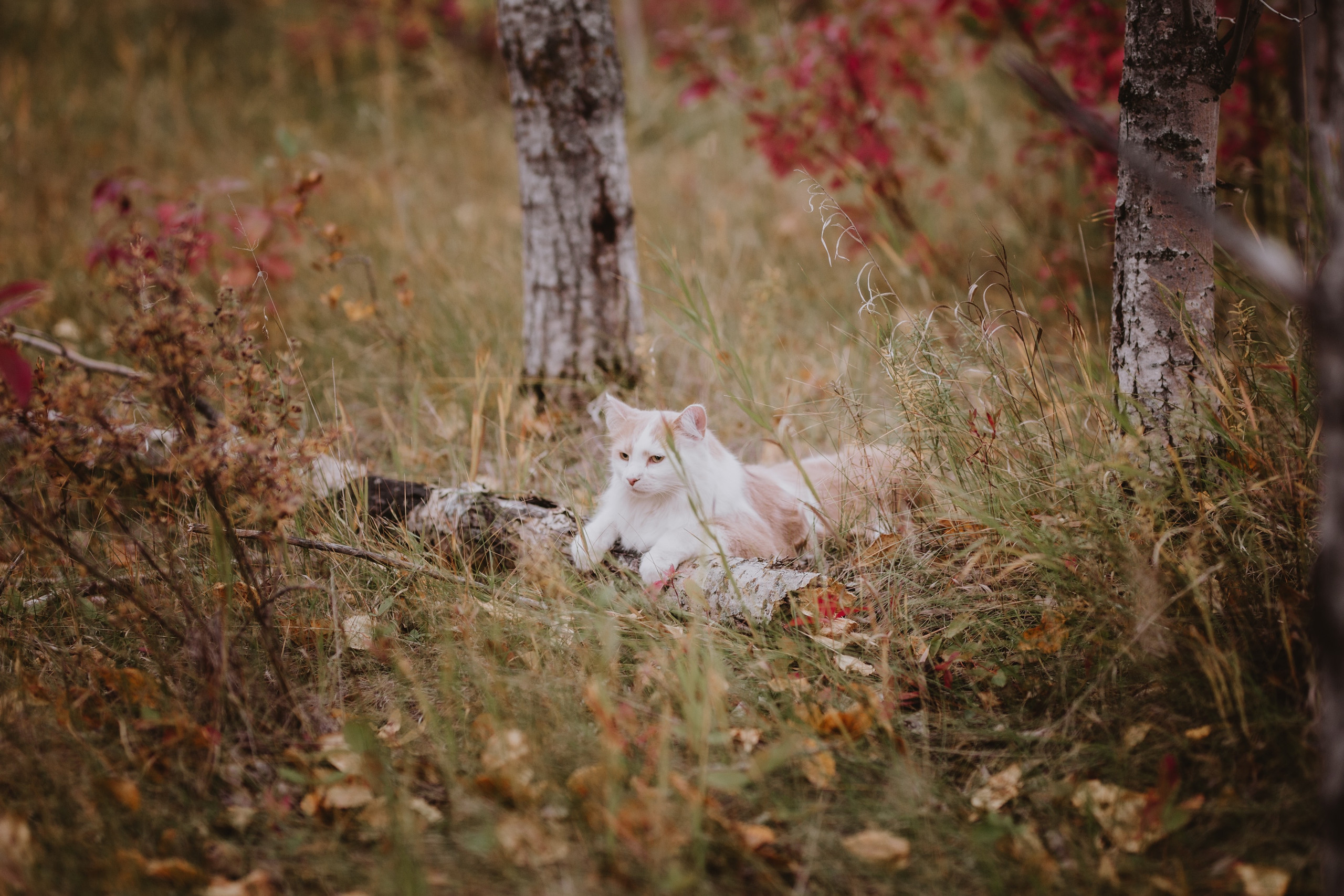 Cat Poses in the Forest during his humans fall engagement photo session.
