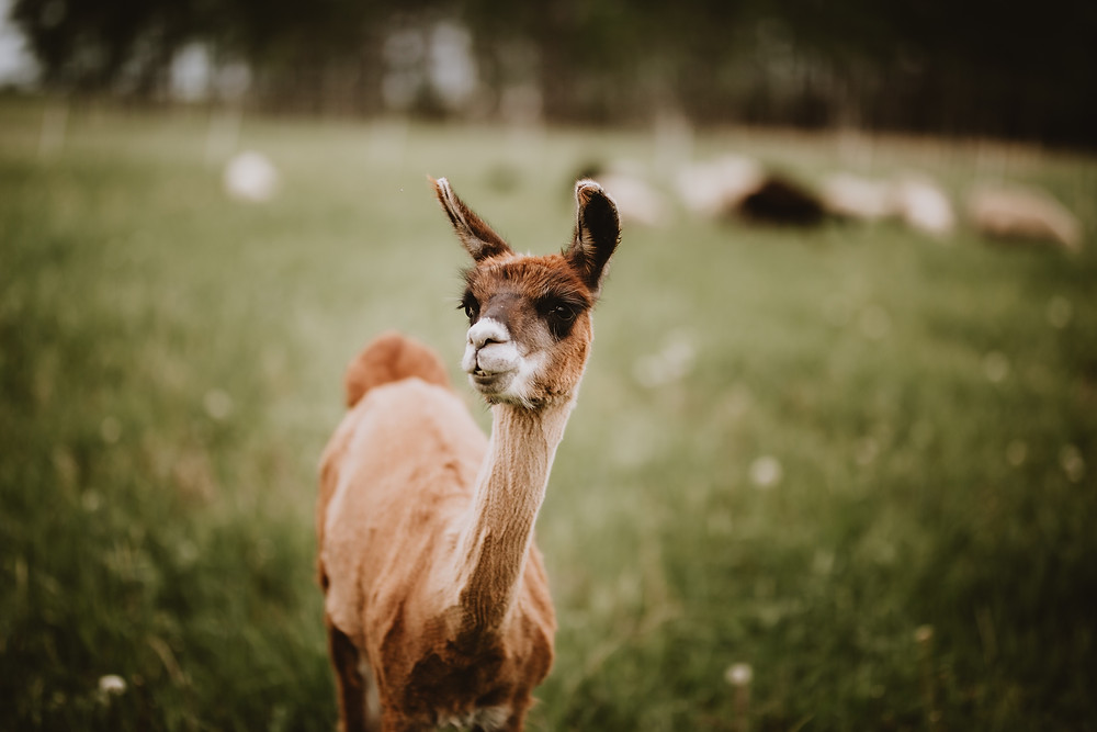 Alpaca poses for a picture.