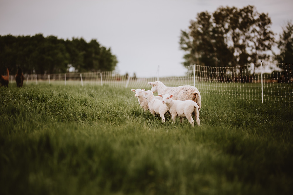 Sheep in the grassy field of Ferme Fiola.