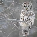 white_owl-Bird_Photography_Wallpaper_1600x1200.jpg