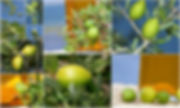 サイト アルガンの実の画像.jpg