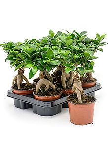 Ficus micro ginseng mini.jpg