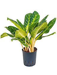 Aglaonema key lime touffe pot 18 19 50 c