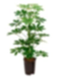 Schefflera arboricola.jpg