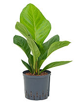 Aralia jungle hybriden buisson pot 22 19