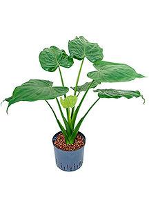 Alocasia cucullata pot 22 19 cm 90 cm.jp