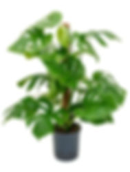 Philodendron monstera.jpg