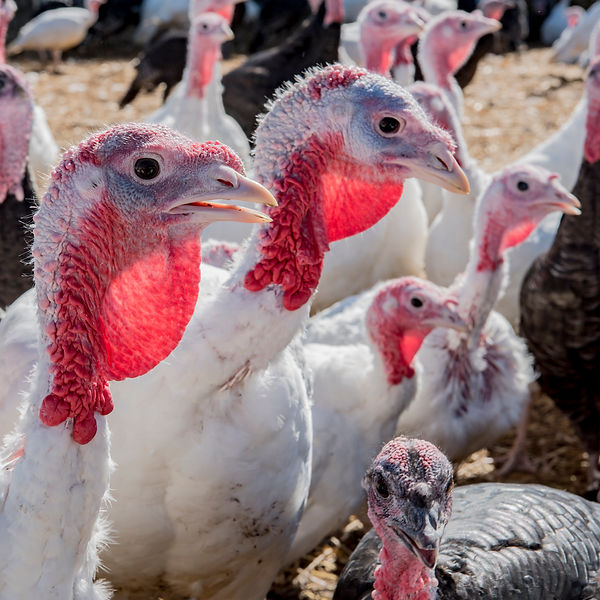 New Turkey Shot 17th Sept 2018 3.jpg