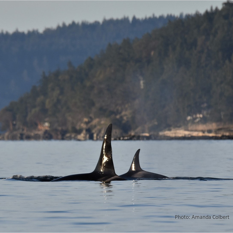 Orca Recovery: Looking to the Future