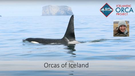 Orcas of Iceland - Filipa Samarra