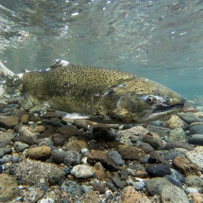 Wathershed Watch Salmon Society