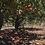 Thumbnail: Snow-Line Orchard