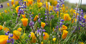 Best Places To See Spring Wildflowers in SoCal During Social Distancing!