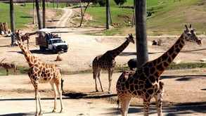 San Diego Zoo and San Diego Zoo Safari Park Are Reopening This Month!