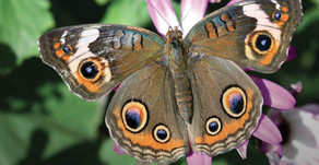 Butterfly Pavilion and Nature Gardens are Reopening at NHMLA!