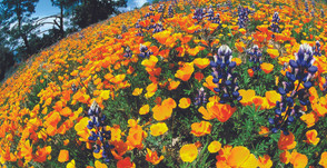 Best Places To See Spring Wildflowers in SoCal With Kids!