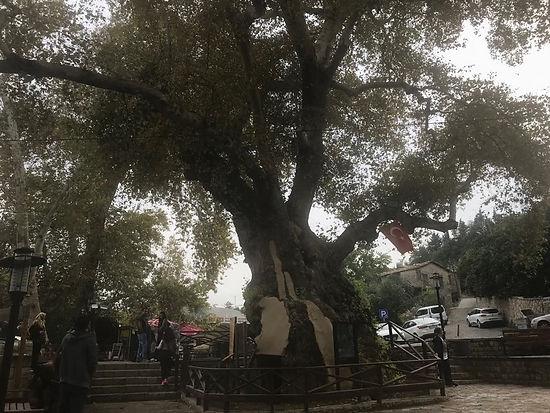 Musa ağacı.jpg