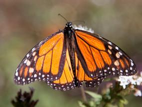 Butterfly Blizzard:  Macheros to San Juan de Teotihuacan
