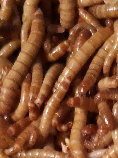 500 Ténébrions vers de farine vivants