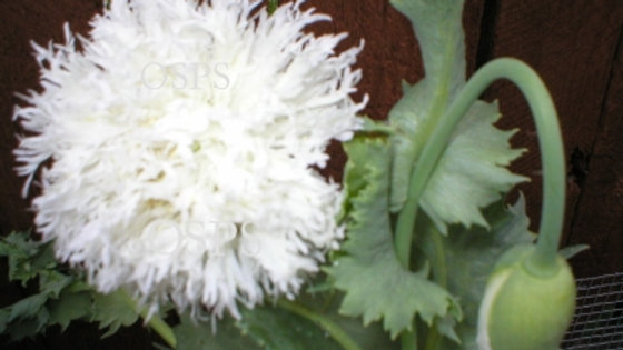 Poppy Flower Seeds - Swansdown White J2