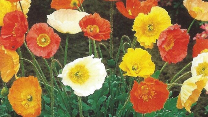 Papaver nudicaule - Artists Glory Poppy Seeds K3