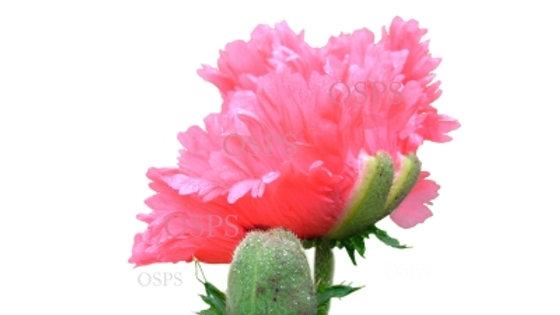 Oriental Poppy Seeds - Fancy Feathers C3