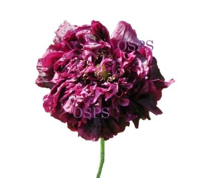 Buy poppy flower seeds black cloud poppies a7 poppy seeds papaver paeoniflorum annual poppy flowers stunning dark purple almost black peony shaped double flowers reach 5 inches across mightylinksfo
