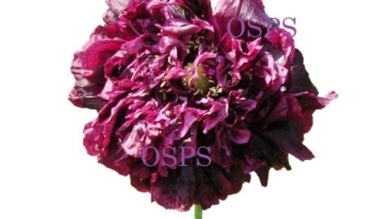 Buy Poppy Flower Seeds - Black Cloud Poppies A7