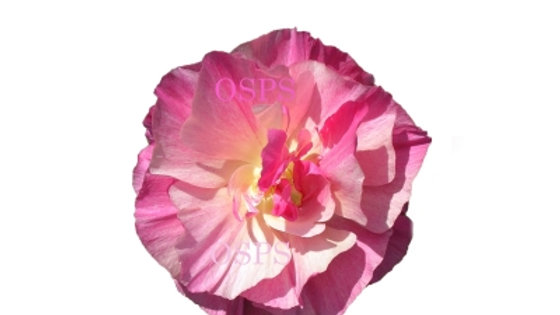 California Poppy Seeds. Rosa Romantica M5